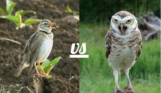 owl v lark
